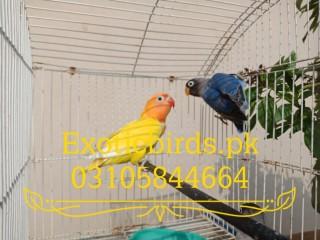 Lutino Personata Love Birds