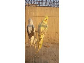 Cocktail breeder pair