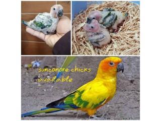Sunconore chicks