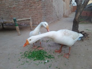 White Duck breader pair