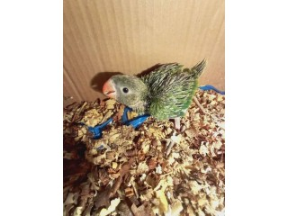 #Green_Ring_Neck_Chick_Pair