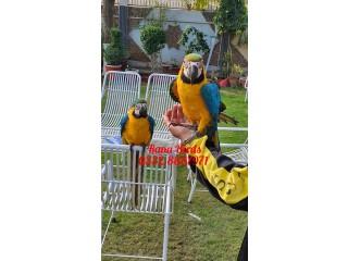 #macaw