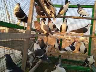 25 pigeons kalay sherazi ,kaly ganday dar