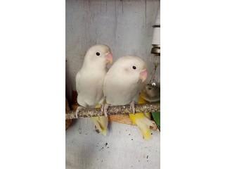 Albino split
