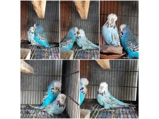 15 breeding exi pairs with chicks