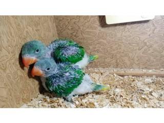 Raa chicks