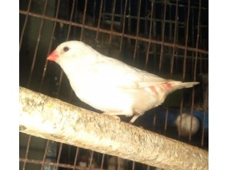 Silver diamond fire tail finch patha