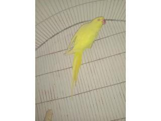 Yellow Ring neck garented breeder female