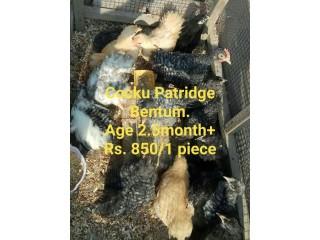 Cocku patridge Bentum