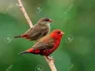 Strowberry finch