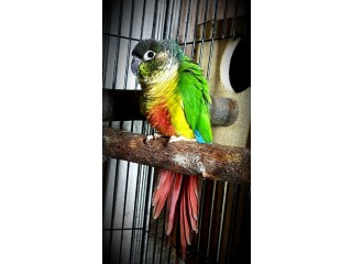 Green yellow sided cnour breeder female
