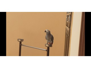 Grey Parrot for Sale