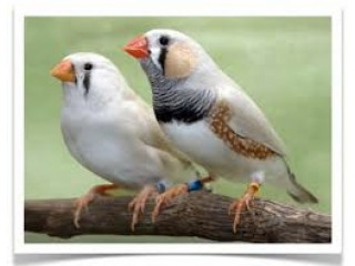 Finch Mix Breeder Colony Available