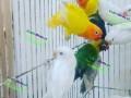 lovebirds-small-0