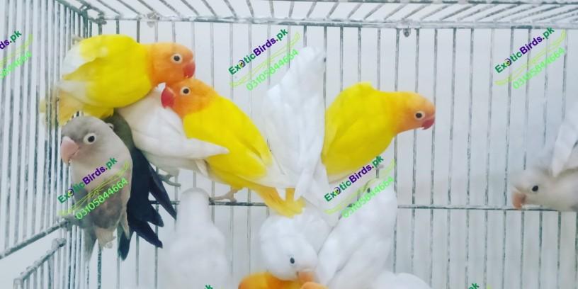 lovebirds-big-2