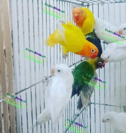 lovebirds-big-0