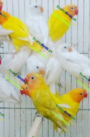 lovebirds-big-1