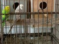exi-budgies-for-sale-small-0