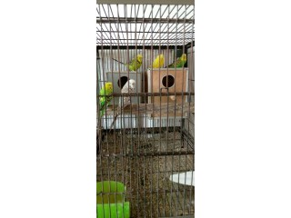 Exi budgies for sale