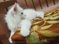 persian-kitten-small-0