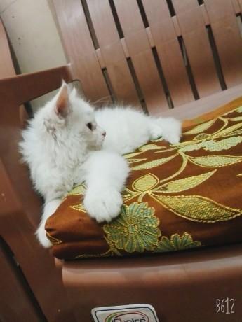 persian-kitten-big-0