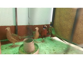 Ring neck pheasants for sale breeder pairs available