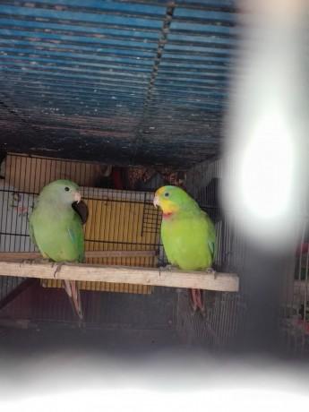 super-parrot-big-0