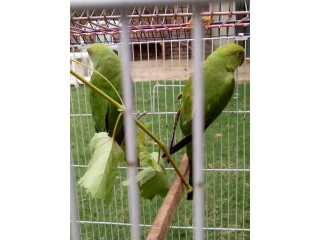 Green parrot pair of 7 month