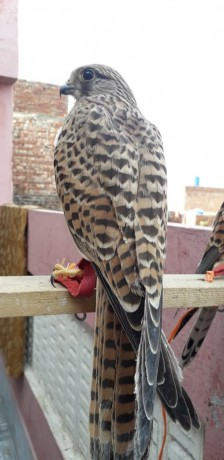 kastral-falcon-male-and-female-big-2