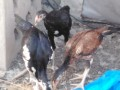 3-heera-chiks-available-small-0