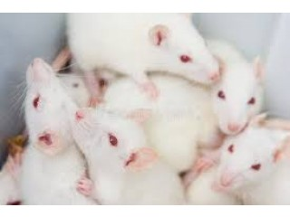 Albino Rats and Mice for Research of Pharmacology
