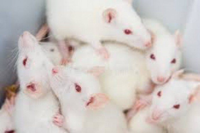 albino-rats-and-mice-for-research-of-pharmacology-big-0