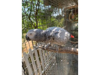 Pair African Grey Parrots