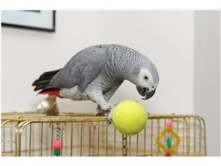Cute African Grey Parrots Available