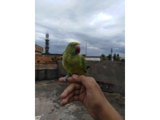 Green Indian Ringneck for sale extremely tame very loving and talkative