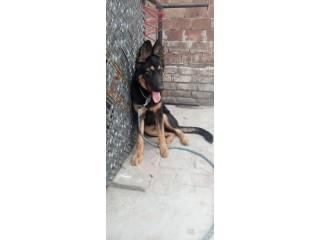German Shepherd 7 months