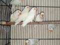 albino-redeye-pathy-small-0