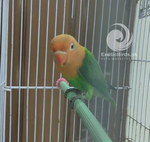 green-opaline-male-big-1