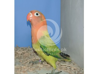 Green Euwing Opaline Male