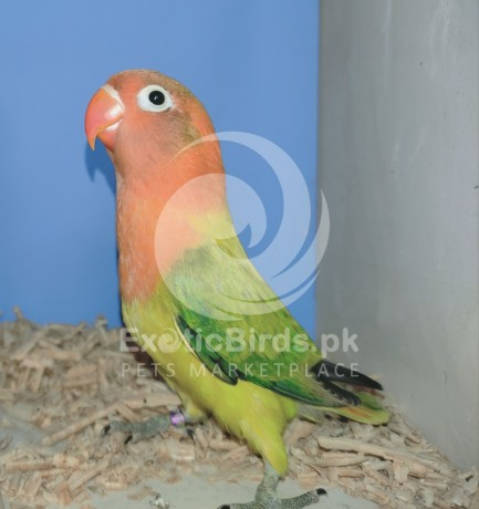 green-euwing-opaline-male-big-0