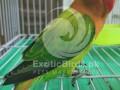 green-euwing-opaline-female-small-0