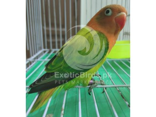 Green Euwing Opaline Female