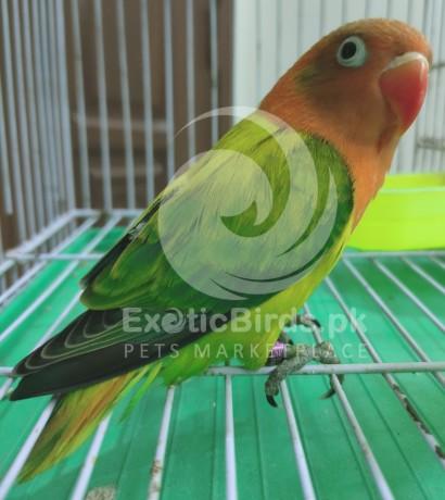 green-euwing-opaline-female-big-0