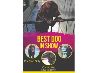 Pedigreed Chocolate Champion Labrador available for Confirm Stud/Mating
