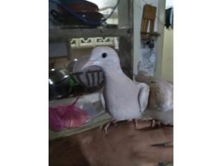 Ringneck Doves