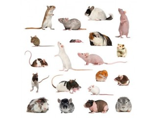 Karachi Mice and RAT Available