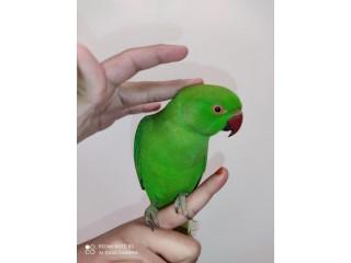 Hand Tame Ringnack Parrot