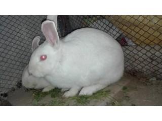 1 Red eye white rabbit