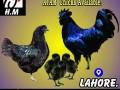 ayam-cemani-chicks-small-0