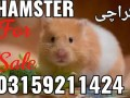 hamster-and-hamster-cage-in-karachi-small-4